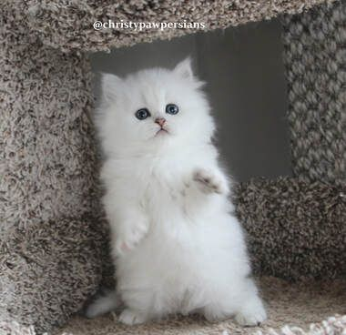 Persian Kittens For Sale Doll Face For Sale In Missouri Christypaw Persians Persian Cat Doll Face Persian Kittens Persian Kittens For Sale