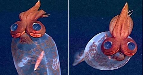 """""""This cartoony-looking squid is Taonius borealis....These bizarre deep-sea squid only grow up to 50 cm in length but even something so tiny has room for unique adaptations. Its large eyes normally sit facing frontwards, but it is also able to switch them to see out laterally instead."""""""