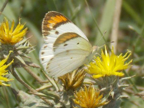 Sưu tập Bộ cánh vảy 3 - Page 7 44804c2971f151d989d9d5800640560e--flowers-butterflies