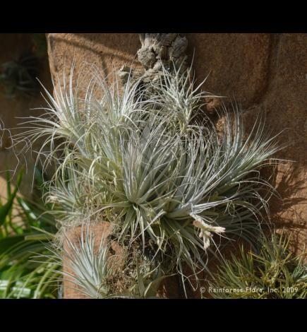 Tillandsia Varieties Account Gardneri V Rupicola Tillandsia