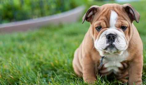 10 Dog Breeds That Have The CUTEST Puppies Ever