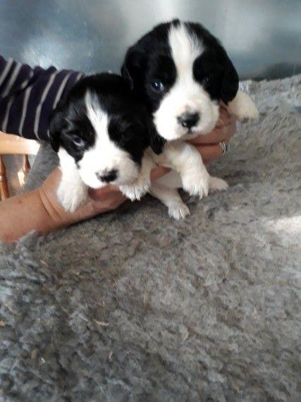 Sprocker Springer X Cocker Puppies For Sale Working Cocker