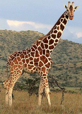 Tragic ... giraffe like this was struck