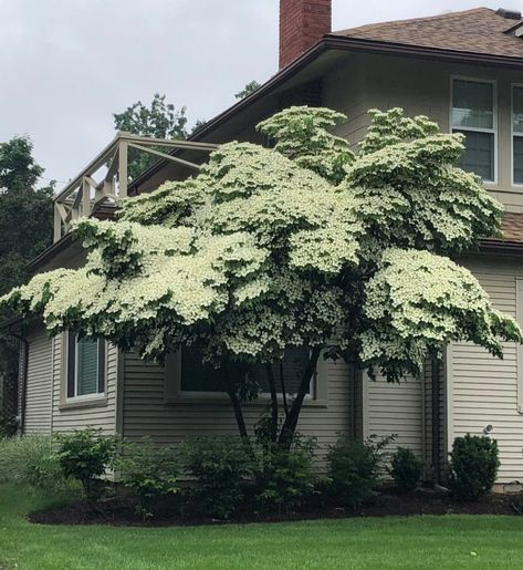 Cornus Kousa Shade garden plants, Spring flowering trees