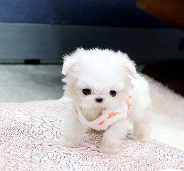 Teacup Maltese Puppies For Sale Near Me, Maltese Breeders Puppies