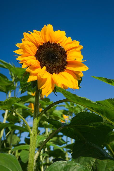 So much beauty surrounds us!  Sunflowers inspire happiness.