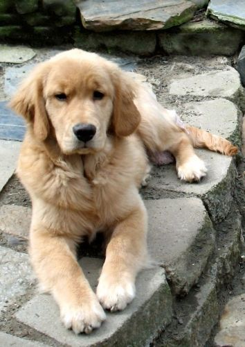Cutest Golden Retriever Photos Sweet Golden Retriever Puppies