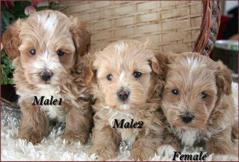 Maltipoo Puppy 4 Sale Maltepoo Maltese Poodle Puppies Iowa Maltipoo Puppy Maltese Poodle Puppies Poodle Puppy