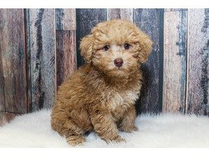 Puppies And Dogs For Sale Petland Racine Wisconsin Dogs For Sale Poodle Dog Dogs