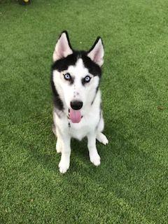 Gronk A Siberian Husky At Barks Recreation Seminole Fl Dog