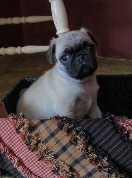 Pug Puppy For Sale In Belleville Pa Adn 62151 On Puppyfinder Com