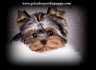 Michigan Teacup Yorkshire Terrier Puppy Breeder With Tiny Teacup