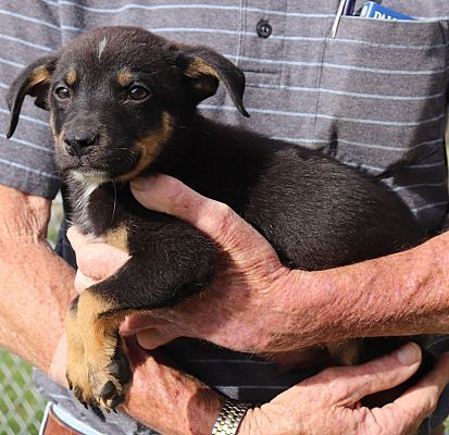 Chicago Il Bernese Mountain Dog Meet Ike A Pet For Adoption Bernese Mountain Dog Mountain Dogs Pet Adoption
