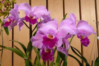 Flowers Around The World The National Flower Every Country C Cattleya Orchid Flowers Orchids