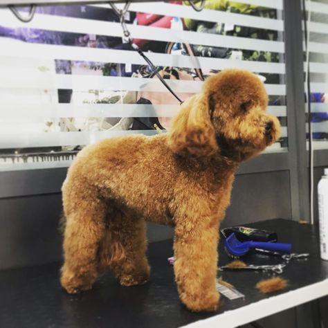 Parti Moyen Poodle Toy Poodle Puppies Craigslist Klein Poodl