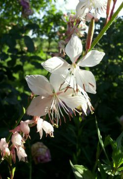 rosa Inkalilie • 8 Samen//seeds • Alstroemeria • Mix • weiß-rosa rot • Lilie