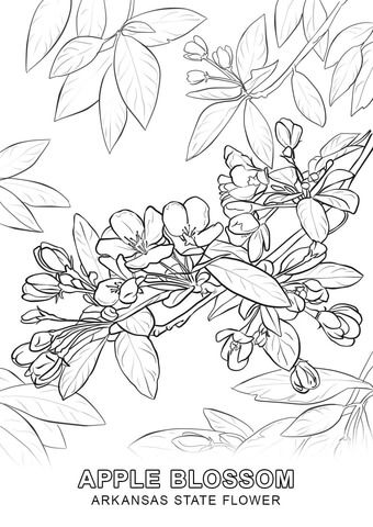 Arkansas State Flower Coloring Page Flower Coloring Pages