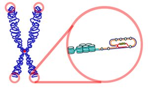 Over time, due to each cell division, the #telomere ends become shorter. They are replenished by an enzyme, telomerase reverse transcriptase (abbreviated to #TERT, or #hTERT in humans) a catalytic subunit of the enzyme #telomerase, which, together with the telomerase RNA component ( #TERC), comprises the most important unit of the telomerase complex.