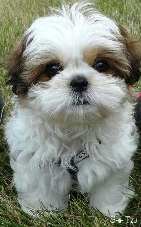 Shih Tzu Affectionate And Playful Shih Tzu Puppy Dog Breeds