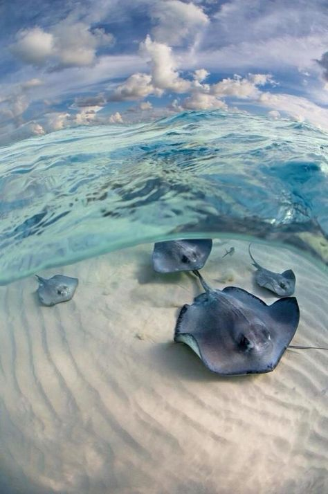 I like how the photographer didn't just take a picture above the water looking down on the animals. They got under the water and got a clearer photo. Under The Water, Beautiful Creatures, Animals Beautiful, Majestic Animals, Beautiful Beautiful, Beautiful Places, Fauna Marina, Cayman Islands, Grand Cayman Island