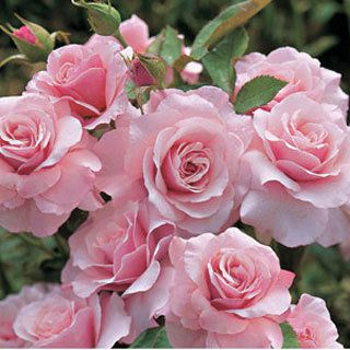 All summer, Our Lady graces your garden with generous clusters of silvery pink, ruffled blooms.