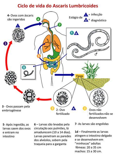 giardia intestinalis o que é