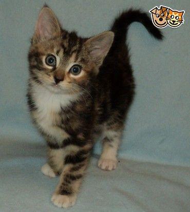 Tabby And Tortoiseshell Kittens For Sale Burton Upon Trent Staffordshire Pets4homes Kitten For Sale Kittens Tabby