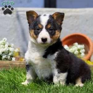 New Arrivals Puppies Greenfield Puppies Corgi Mix Puppies