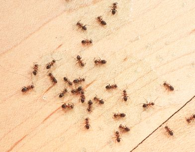 The Process Of Getting Rid Of Unwanted Guests In Your Home Ants With Images Get Rid Of Ants Ants Ant Problem