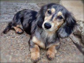 Paisley Black Cream Dapple Longhaired Dachshund