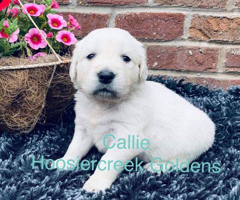 Callie Akc Female Golden Retriever For Sale In Loogootee In Goldenretriever Goldenretrieverpuppies Goldenretrieverpuppi Dog Friends Puppies Dog Breeder