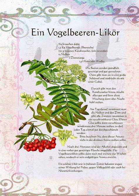 Ein Vogelbeeren Likor Krauter Pflanzen Heilpflanzen Krauterpflanzen