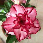 4 Rare Orange Red Desert Rose Seeds Adenium Obesum Flower Perennial Garden