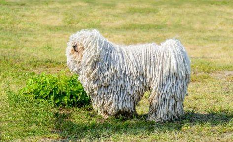 Dog Breeds Beginning With P In 2020 Puli Dog Breed Dog Breeds Puli Dog
