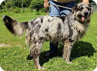 7 25 14 Hillsdale In Great Pyrenees Catahoula Leopard Dog Mix