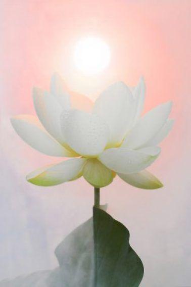 悟りの真実 By 大天使メタトロン ライトワーカー ジャパン 蓮の花 美しい花 ハスの花
