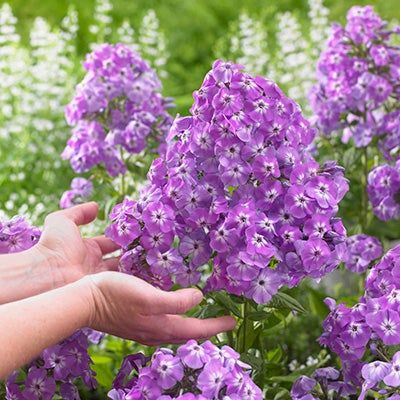 How To Control Powdery Mildew On Garden Phlox Phlox Flowers