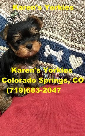 Yorkie Puppies For Sale Yorkies For Sale Yorky Breeder Yorky Puppies Yorkshire Terrier Yorksh Yorkie Puppy Yorkshire Terrier Puppies Yorkie Puppy For Sale