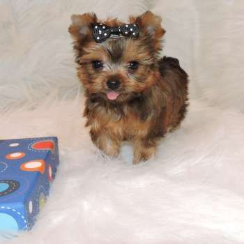 Pictures Of Past Yorkies Yorkie Puppies For Sale Elvis Yorkshire Terrier In 2020 Cute Baby Puppies Yorkie Puppy Yorkshire Terrier Puppies