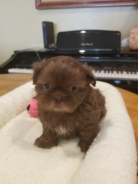 Litter Of 5 Shih Tzu Puppies For Sale In Phoenix Az Adn 70270 On