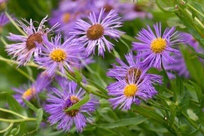 Powdery Mildew Aster Control How To Get Rid Of Powdery Mildew On Asters In 2020 Powdery Mildew Mildew Planting Flowers