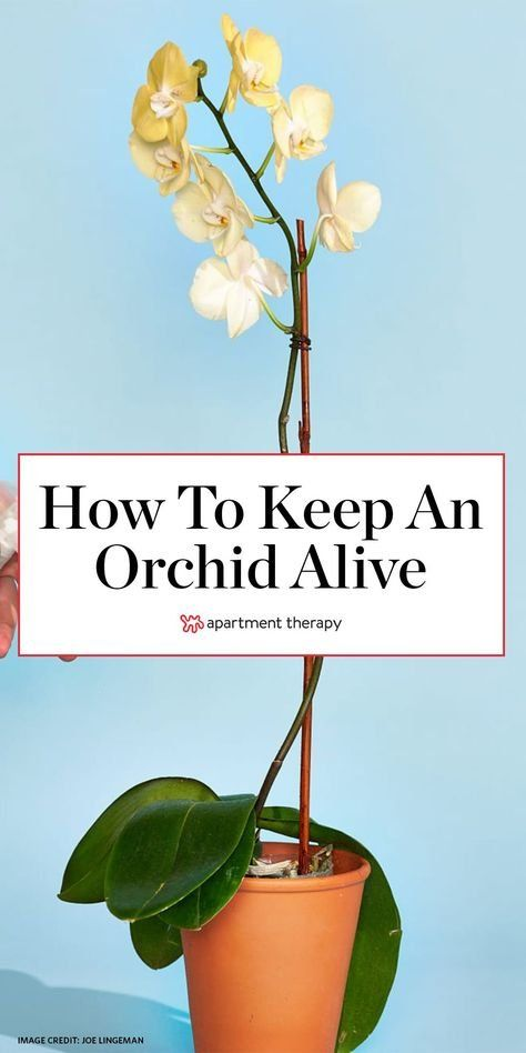 Here's how to keep your orchid alive for longer than a week. #orchid #orchidbloom #orchidcare #orchidtips #houseplants #indoorplants #plantcare #planttips