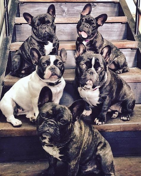 Frenchies...Too cute to describe!