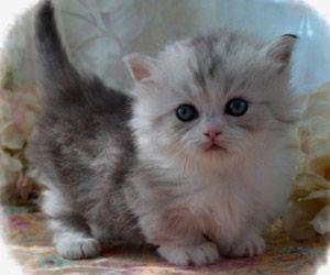 Persian Cat Gallery Munchkin Cat Munchkin Kitten Kittens Cutest