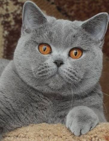 Gorgeous Gray Kitty With Copper Eyes Cute Cats