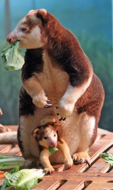 Kasbeth, a tree kangaroo and new mother, eats an afternoon snack with her baby Bexley inside the St. Louis Zoo's Emerson Children's Zoo on Thursday, Aug.