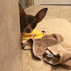 Willingboro Nj Chihuahua Meet Moe A Pet For Adoption Pets Pet Adoption Chihuahua