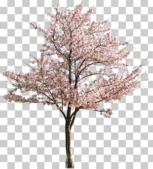 Cercis Siliquastrum Chinese Magnolia Tree Blossom Png Clipart Abstrac Branch Cherry Cherry Blossom Chi Magnolia Flower Blossom Flower Cherry Blossom Tree