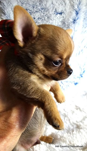 Puppies For Sale Hill Country Chihuahuas Chihuahua Puppies