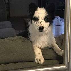 Denver Co Border Collie Meet Peaches A Dog For Adoption Kitten Adoption Dog Adoption Pets
